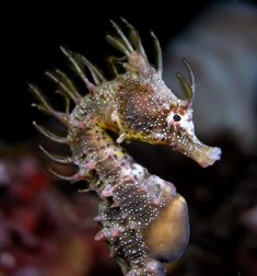 Underwater Photographer Dave Harasti's Gallery: Harasti: Punk Seahorse - DivePhotoGuide.com