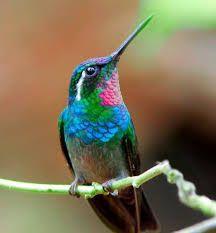 Resultado de imagen para colibri esmeralda en peligro de extincion