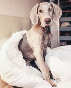 I woke up like this! Lol! This Weimaraner is looking beautiful!