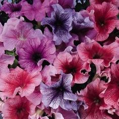 Petunia Daddy Seeds - Irish Plants Direct