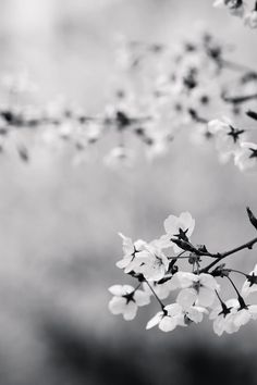 Featured photo by Lee Imho. Check out Lee's profile: https://www.pexels.com/u/meet411 #black-and-white #flowers #branch