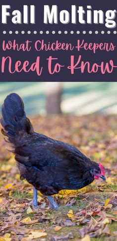 Most chickens go through a fall molting stage, and it can be concerning for new chicken owners. If you're a first-time backyard chicken owner, then you need to know all about fall molting and how to help your chickens. #BackyardChickens