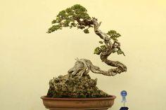 Bonsai : Literati (Bunjin) style