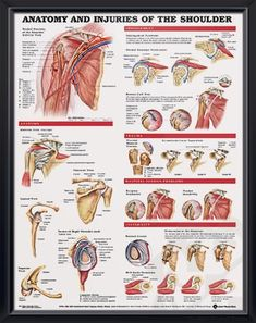 This inch examination-room human anatomy poster shows views of the shoulder anatomy, impingement, rotator cuff tear, trauma and bicipital tendon. Shoulder Rehab, Shoulder Surgery, Shoulder Problem, Shoulder Joint, Muscle Anatomy, Body Anatomy, Hand Therapy, Massage Therapy, Massage Envy