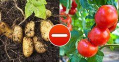 Už vím, kam zasadím sazenice rajčat: Nejlepší vychytávky pro výsadbu zeleniny a bylinek - držte se tohoto a úrodu budete počítat na kila!   iRecept.cz Salvia, Vegetables, Food, Gardening, Plant, Culture, Cilantro, Sage, Essen