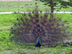 Sri Lanka male peacock dancing in the wild.