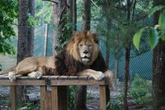 Mufasa lion at the Conservators' Center in North Carolina.