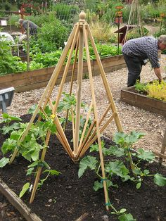 Now this is cool.  Wish I'd saved my old broken umbrella frames !  Recycled porch umbrella frame finds new life in the cucumber bed as a trellis