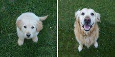 Outro belo golden retriever, 10 anos entre fotos