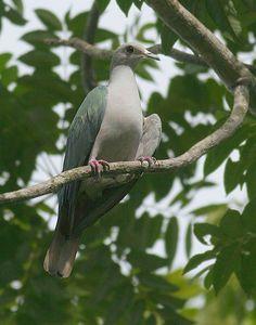 Green Imperial Pigeon | Green Imperial Pigeon Ducula aenea sylvatica