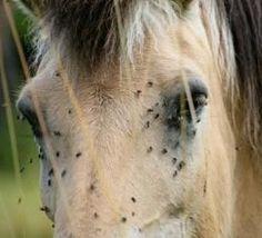 Homemade Fly Amp Gnat Spray For Horses When I Sprayed It On