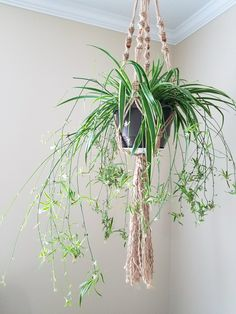 spider plant hanging plants plant babies plant display green foliage plants leaves cute pots for pla Foliage Plants, Air Plants, Potted Plants, Indoor Plants, Tomato Plants, Porch Plants, Indoor Gardening, Mother In Law Tongue, Mother In Law Plant
