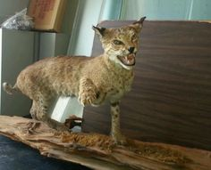 Awesome taxidermy 13