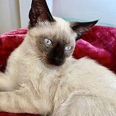 Brooklyn, New York - Siamese. Meet Osiris: Little Siamese Kitten, a for adoption. https://www.adoptapet.com/pet/21205130-brooklyn-new-york-cat