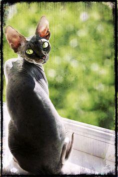 Sphynx cat :)