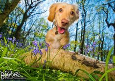 Earlier this year, the super fun Murphy came over to play. At 8 months old, this playful Cocker Spaniel pup was experiencing his first Spring and that's what we were capturing - memories of him jumping about in the bluebells and becoming an expert at digging holes. You can tell he had an AMAZING time, his happy face just says it all! :)  www.bounders.co.uk/ Digging Holes, Cocker Spaniel Puppies, 8 Month Olds, 8 Months, Spaniels, Dog Photography, Photo Sessions, Funny Dogs, Labrador Retriever
