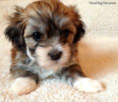 Beautiful Havanese Puppy <3  4 weeks old   www.havahughavanese.com