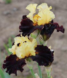 TB Iris germanica 'Mahogany Magic' (Johnson, 2006)