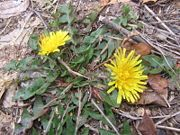 wild edible plants