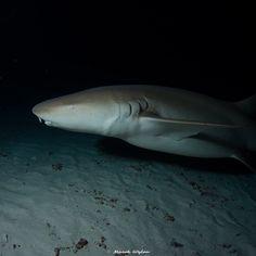 Bamboo Shark | Maldives | 2014.04.06  Title: Bamboo Shark Location: Maldives Camera: NIKON D800E Lens: Sigma 15mm F2.8 EX Diagonal Fisheye Settings: 1/250 f/5 ISO200 Housing: Subal ND800 Strobes: 2 x INON Z240  http://marek.wylon.com
