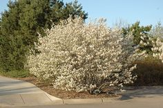 Find Shadblow Serviceberry (Amelanchier canadensis) in Des Plaines Mount Prospect Elk Grove Glenview Nile Illinois IL at Lurvey Garden Center (Shadblow) Tall Plants, Large Plants, Foliage Plants, Trees And Shrubs, Trees To Plant, Flowering Shrubs, Fast Growing Trees, Landscaping Plants, Landscaping Edging