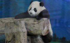 Yuan Zai, o primeiro bebê panda nascido em Taiwan, brinca no jardim zoológico de Taipei.  Foto: Mandy Cheng/AFP