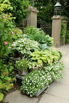 Hostas in containers Small Courtyard Gardens, Small Courtyards, Outdoor Gardens, Hosta Plants, Shade Plants, Garden Plants, Green Garden, Shade Garden, London Garden