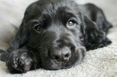 The sweetest cocker spaniel pup