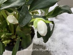 Friday Bliss - Helleborus Winter, Bliss, Plant Leaves, Friday, Plants, Shade Perennials, Florals, Winter Time, Planters