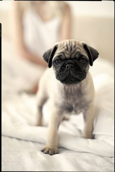 .Lovely puppy pug