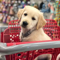 Rookie ❤ Golden Labradoodle, Golden Labrador, Animals And Pets, Baby Animals, Cute Animals, Dog Day Afternoon, Buy A Dog, Crazy Dog Lady, Guide Dog