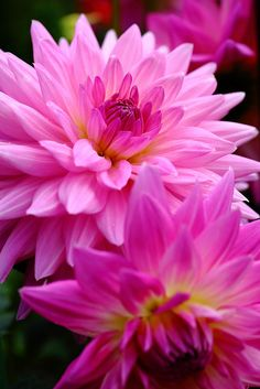 """""""Niji(虹)"""" Dahlia """"Niji(虹)"""" We have all the colors you want. Call now for your free Estimate """"Niji(虹)"""" We have all the colors you want. Call now for your free Estimate All Flowers, Exotic Flowers, Amazing Flowers, Colorful Flowers, Beautiful Flowers, Beautiful Gorgeous, Amazing Gardens, Beautiful Gardens, Dahlia Flower"""