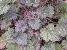 Heuchera 'Frosted Violet' - Plant Finder
