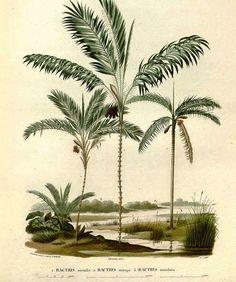 Olímpia Reis Resque: Lindas florestas de palmeiras