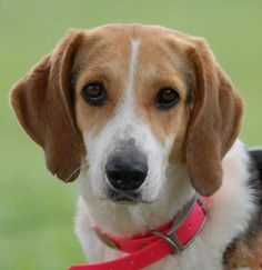 09/03/15-Meet Pearl, a Petfinder adoptable Treeing Walker Coonhound Dog | Canyon Lake, TX | Hi, I'm Pearl a sweet and loving hound.  I'm just coming out of my shell and those I know, know I'm...