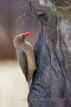 Red-billed Oxpecker - Buphagus erythrorhynchus; eye to eye with a Cape Buffalo.
