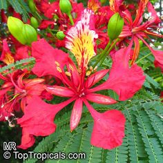 Mimosa-like tropical tree, orchid flowers, start from seeds 4 for $3 Delonix regia, Poinciana regia, Flame tree, Flamboyant, Royal poinciana, Gul Mohr, Peacock Flower  Click to see full-size image
