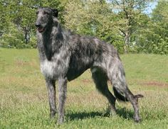 The Scottish Deerhound, or simply the Deerhound, is a breed of sighthound, once bred to hunt the Red Deer by coursing. Mastiff, Scottish Deerhound, Large Dog Breeds, Large Dogs, Irish Wolfhound, Wild Dogs, Beautiful Dogs, Goldendoodles, Animals And Pets