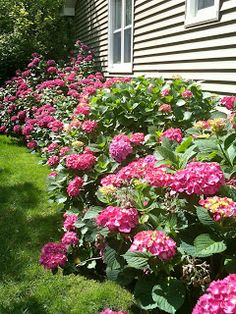 Hydrangeas, would be pretty for the front of my house.