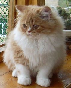 American Curl Cat Breeds - Cats In Care Pretty Cats, Beautiful Cats, Pretty Kitty, American Bobtail Cat, American Curl, Kinds Of Cats, White Cats, Here Kitty Kitty, Cat Breeds