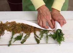 Размножение хвойных зимними черенками. Conifers: Propagation by cuttings. Garden tips & tricks