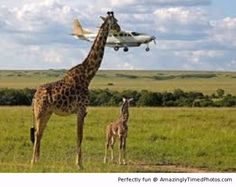 Giraffe has a plane to catch – For him he will never miss a plane. He just needs to find a place to fly to.