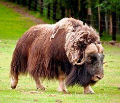 Misk öküzü Animals Information, Musk Ox, North And South America, Animal Paintings, Cattle, Mammals, Goats, Wildlife, Bizon