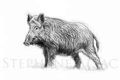 "illustration  ""Etude de Sanglier""-Alsac-wildlife-art"
