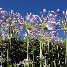 Agapanthus (Taken with Instagram at my backyard)