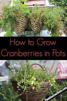 organic gardening tips Vegetables Fruit Plants, Fruit Garden, Fruit Trees, Permaculture, Container Plants, Container Gardening, Organic Gardening, Gardening Tips, Indoor Gardening