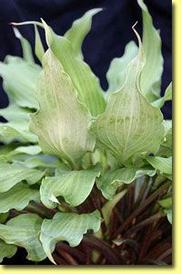 Hosta 'Totally Twisted' (photo courtesy Naylor Creek)