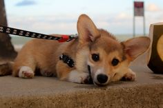 Corgi Pembroke on the beach. Puppy. Poor face.