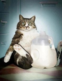 Oops I Am Caught Stealing Milk