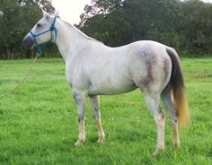 horse apolusa  photo pins | Pin Foundation Quarter Horses For Sale In Texas on Pinterest
